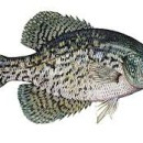 Crappie fishing in Alabama