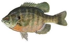 Biuegill Fish