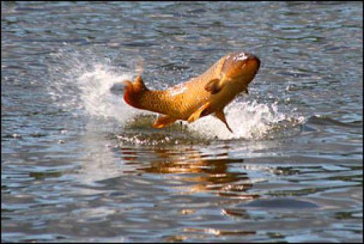 Carp fishing for Carp fish pictures