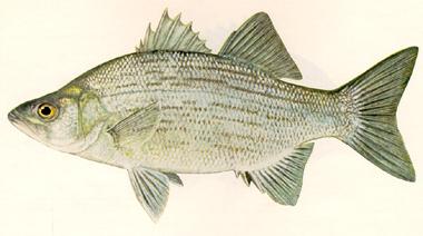 White bass fishing for White bass fishing