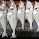 Fishing in Alaska: Halibut