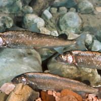 Mountain Whitefish Fishing in Wyoming
