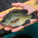 Great Tips to Maximize Your Catch during Panfish Fishing